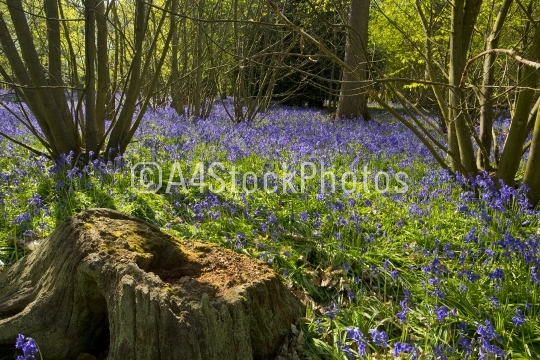 Old tree stump in a bluebell wood